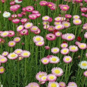 Rhodanthe yellow centres